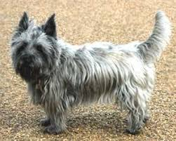 brindle cairn haircut what is a cairn terrier haircut dog life photo