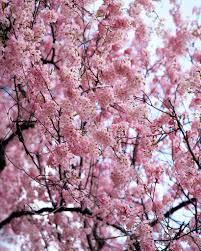 the d c cherry blossom festival is at its peak this saturday and