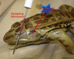 frog dissection labeled images