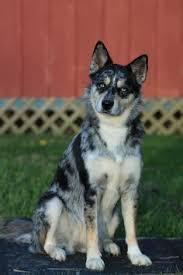 australian shepherd husky puppy siberian husky collie mix google search farm pinterest