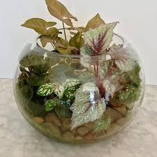 medium terrarium in fishbowl vase u2014 mr collins florist
