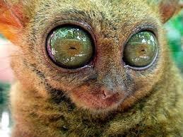 Lemur Meme - lemur