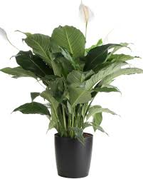 Plants That Don T Need Natural Light by Peace Lily Care Tips Hgtv