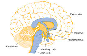 Role Of Brain Stem What Is The Thalamus