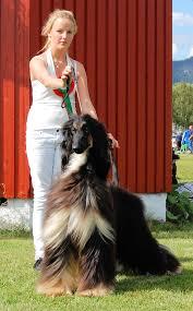 afghan hound breeders victoria kennel al dahna breeder of afghan hounds with excellent pedigrees