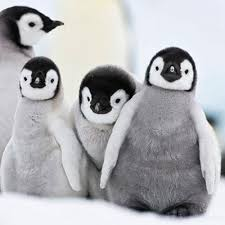 baby penguins cards lung foundation