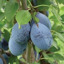 best 25 pruning plum trees ideas on plum tree care