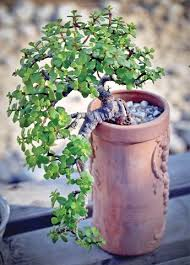 Silk Plants Direct Jade Plant Jade Plant This Plant Is Considered A Succulent It Promotes
