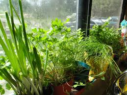 Window Sill Herb Garden by Mistress Of My Domain Windowsill Herb Garden