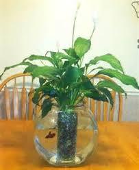 Betta Fish Vase With Bamboo Beta Fish Plant Betta Fish Flower Vase Yahoo 7 Answers 2017