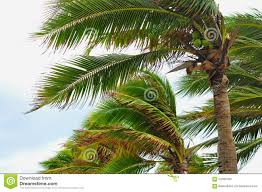 hurricane tropical storm coconut palm tree leaves royalty free