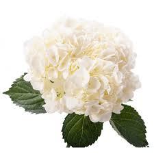 white hydrangea white hydrangea large flower muse