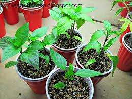 desert organic farming indoor garden solo cup update end of week 3