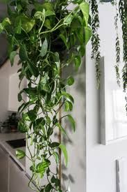 training a large pothos into a pyramid maybe use a garden tuteur