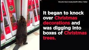 police say beaver ransacked store christmas decorations depend