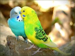 love birds hd wallpapers beautiful loving birds wallpapers u2013 hd