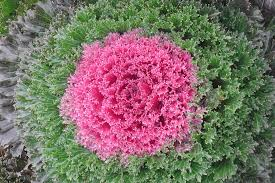 flowering kale nutrition margarite gardens