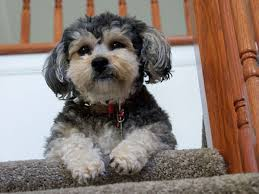 how to cut a yorkie poo s hair 25 marvelous yorkie poo pictures slodive