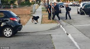 boxer dog kills man police shoot and kill rottweiler in the street when the dog runs