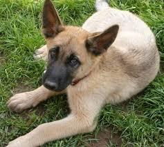 belgian sheepdog golden retriever mix top keywords picture for belgian shepherd golden retriever mix