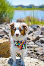 australian shepherd fabric our pet bandanas are made with high quality cotton fabric and