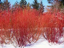 manitoba native plants top winter plants b rocke landscaping