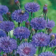 corn flower blue cornflower blue seeds from mr fothergill s seeds and plants