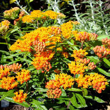 Home Depot Atlanta Georgia Onlineplantcenter 1 Gal Butterfly Weed Plant A150cl The Home Depot