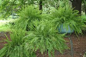 Best Plants For Hanging Baskets by A Shopper U0027s Guide To Buying Outdoor Ferns Costa Farms