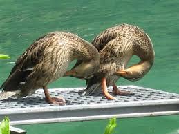 switzerland europe funny ducks