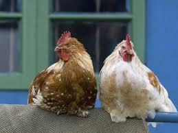 backyard chickens cute trendy spreaders of salmonella new