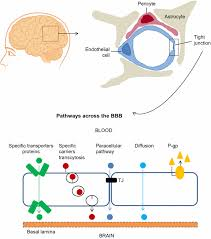Blood Brain Barrier Anatomy Blood U2013brain Barrier And Foetal Onset Hydrocephalus With A View On