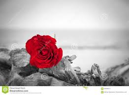 red rose on the beach color against black and white love