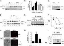 protein tyrosine kinase fyn regulates tlr4 elicited responses on