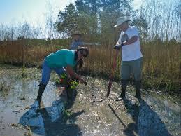native wetland plants new method of restoring wetlands successful along gulf coast