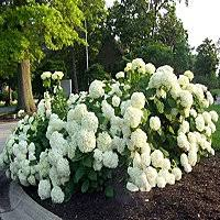 Top Flowering Shrubs - flowering shrubs and bushes to plant for garden color