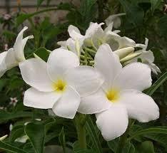 Tropical Fragrant Plants - evergreen white plumeria cutting frangipani apocynaceae
