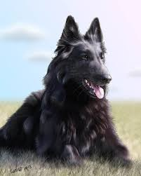 belgian sheepdog epilepsy 27 best belgian tervuren images on pinterest the world fans and