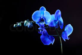 blue orchid flower blue orchid flower on blackbackground stock photo colourbox