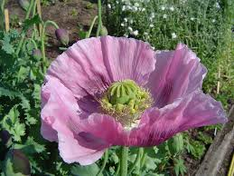 file opium poppy jpg wikimedia commons