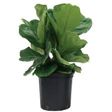 indor plants costa farms ficus pandurata bush in 8 75 in grower pot 10pan the