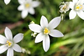 of bethlehem flower of bethlehem the flower that lights up the darkness of the
