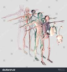 Nervous System Human Anatomy Human Anatomy Exploded View Deconstructed Separate Stock