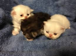 persian kittens for sale upcoming persian kittens for sale page 3