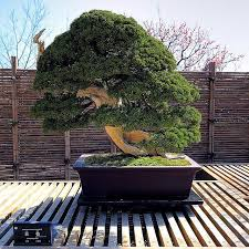 2018 20 juniper bonsai tree potted flowers office bonsai purify the