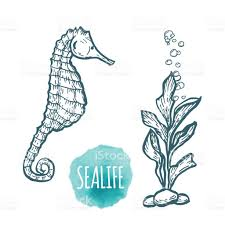 sea horse drawing on white background hand drawn seafood