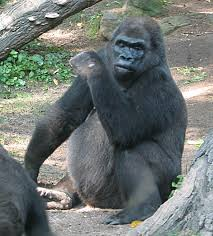Gorilla pattycake gorilla wikipedia