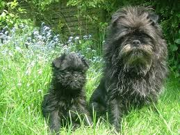 affenpinscher long hair 108 best affenpinscher images on pinterest