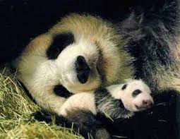 Panda Meme Mascara - cool 138 best funny animal memes images on pinterest wallpaper