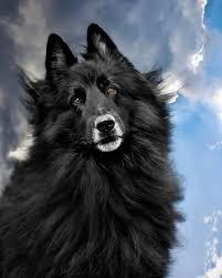 belgian sheepdog of america belgian sheepdog art fine art america